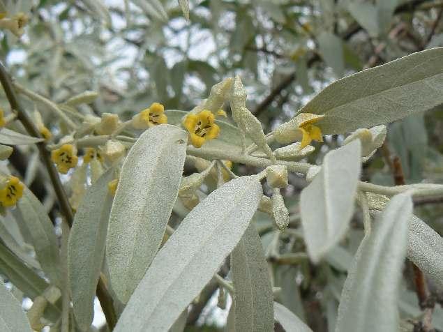 Так цветет джюда рядом с Пскентом на берегу Ангрена.